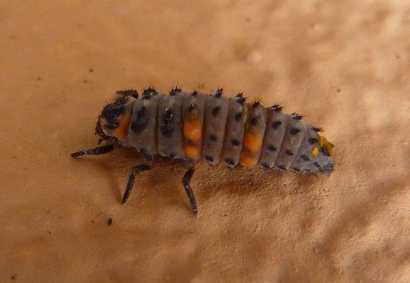 Papillons et insectes photos - Insecte rouge et noir ...
