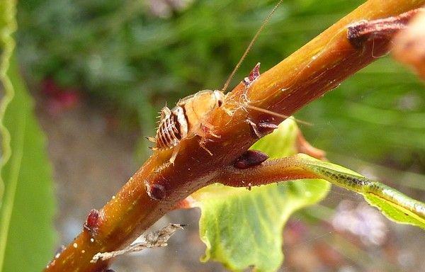 Faune et fleurs insectes un peu de tout photos et textes - Blatte ou cafard ...