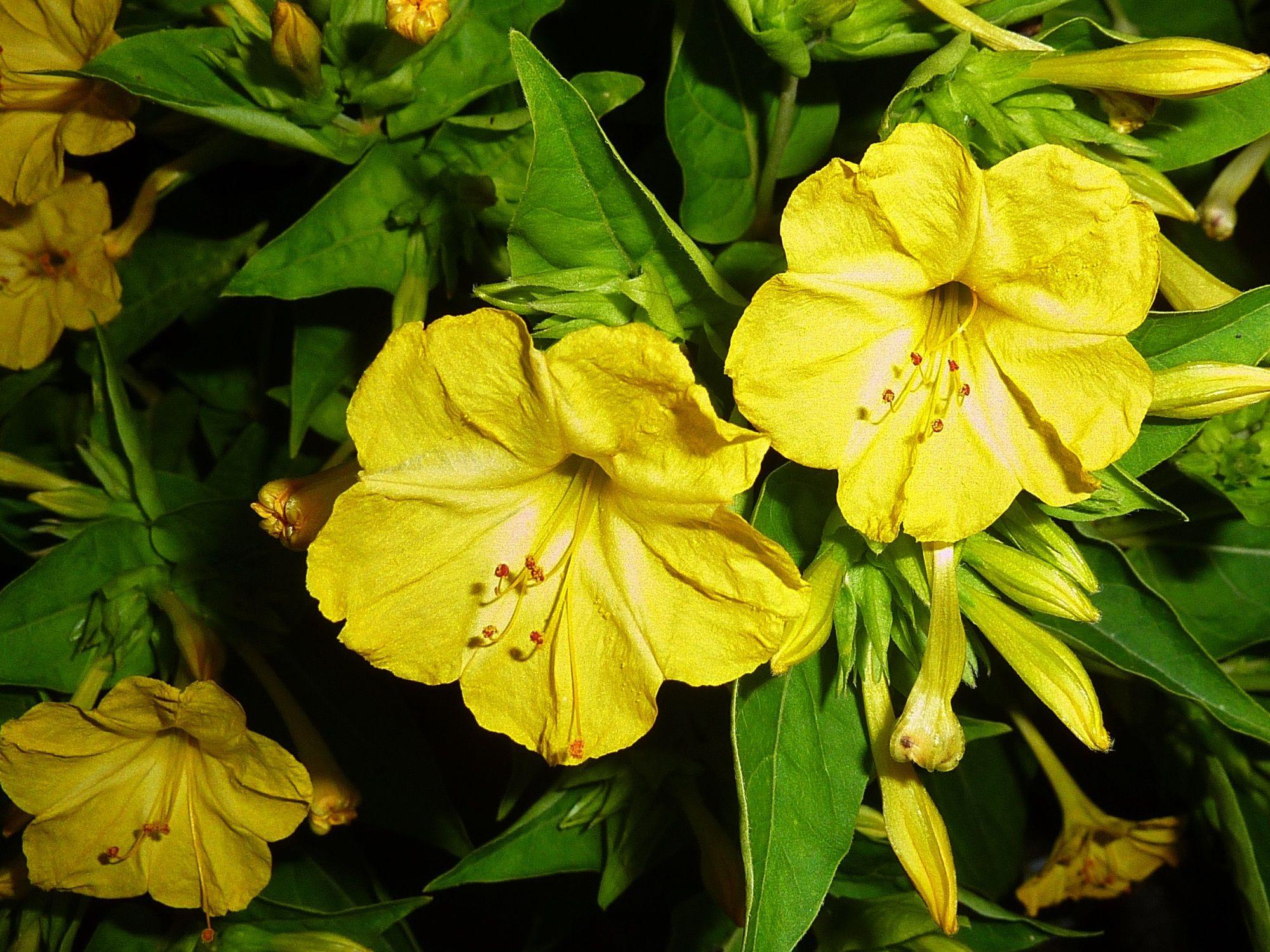 Fleurs page 17 - Belle de nuit plante ...